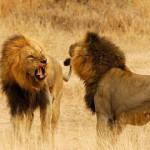 2 ulusaba-rock-lodge-lions-590