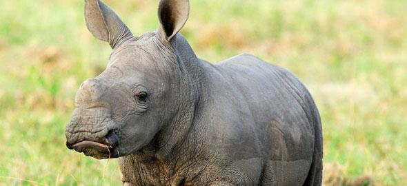 rinocerontes vistos desde safari fotográfico