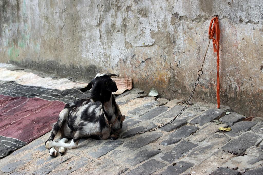 cabra en calle de Calcuta