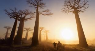 La Avenida de los Baobabs de Madagascar, apenas quedan 25 baobabs de lo que en su día era un denso bosque tropical.