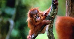 Los orangutanes rojos viven en la zona de Kalimantan de Borneo.