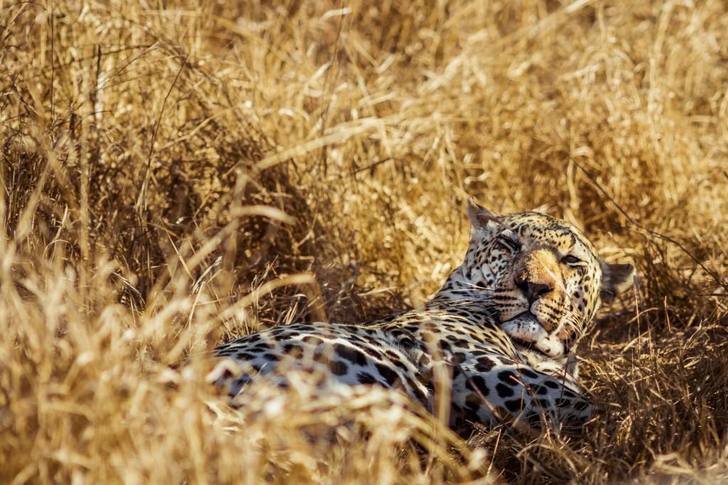 El leopardo pertenece a uno de 'Los Cinco Grandes' FOTO: TBF