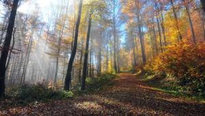 Bosque de hayas habitual en la Selva Negra