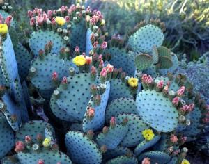 Cactus en flor en el Jardín Botánico del Desierto. Foto: imagenesdejardines.com