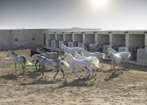 Entre los tours de Qatar Airways durante un stopover  está la visita a la granja de cría de caballos árabes Al Shaqab, dedicada a asegurar el legado esta raza. Foto: Qatar Airways