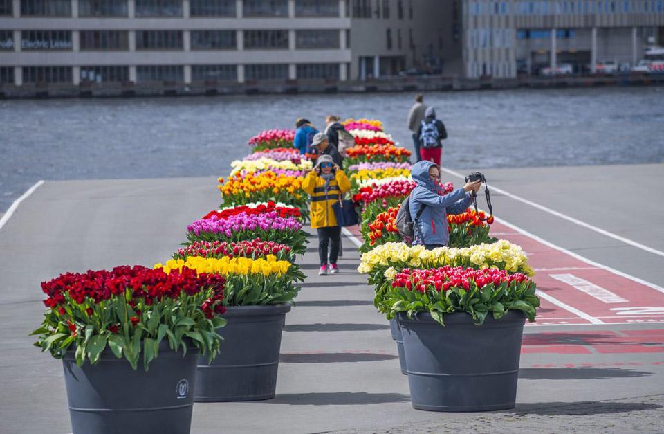 En la primavera, Ámsterdam florece durante el Festival del Tulipán y los tulipanes se pueden ver por toda la ciudad