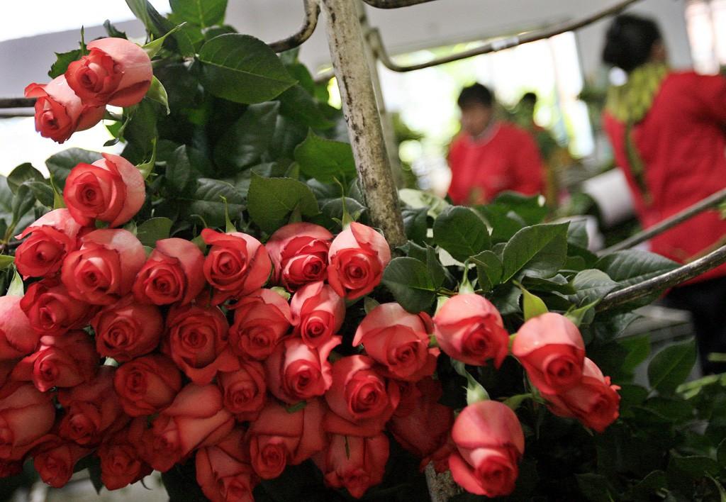 Por la excelente calidad de la rosa de Colombia, el país tiene grandes extensiones dedicadas a su cultivo.