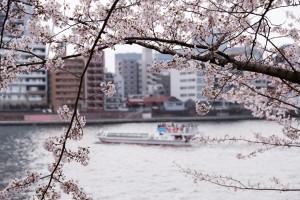 Cerezos en flor a lo largo del  río Sumida-gawa.