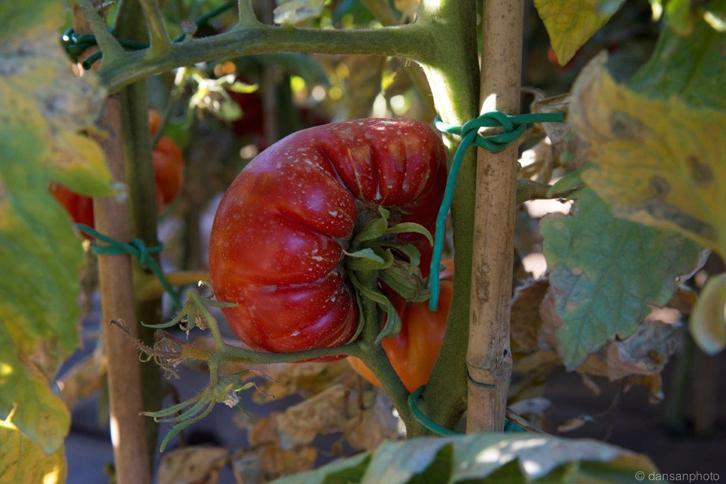 El tomate antiguo de Tudela es el producto estrella de su restaurante. Foto: © dansanphoto.