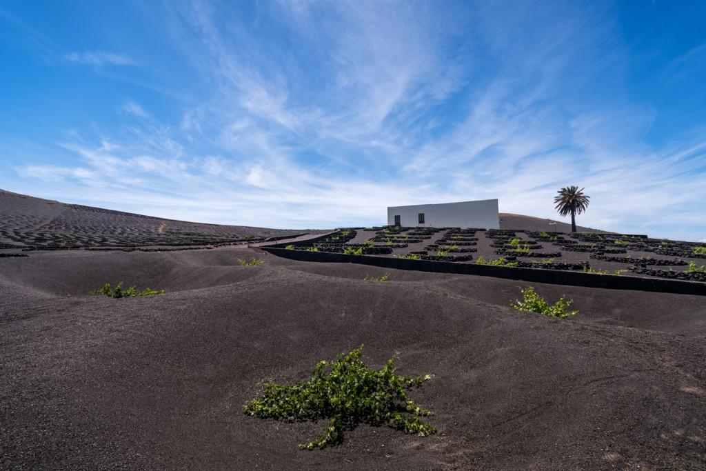 En Lanzarote el viñedo es el resultado de la tenacidad y la obstinación. Foto: © Turismo Lanzarote