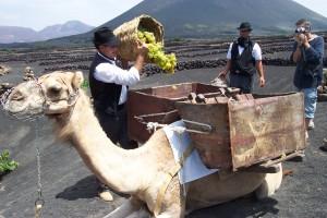 Algunas variedades son exclusivas de Canarias, como la malvasía volcánica y el listán negro.