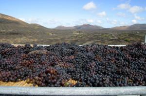 La filoxera que diezmó los viñedos de Europa nunca llegó a Canarias.