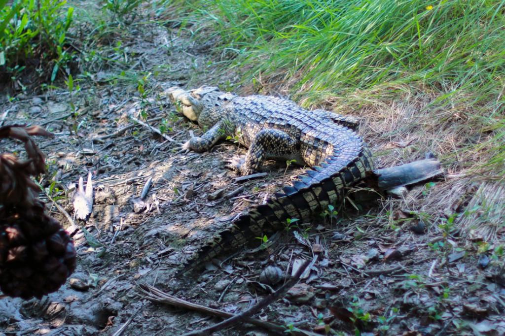 Un cocodrilo descansa plácidamente a la sombra de un árbol.