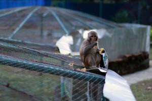 Un macaco da buena cuenta de una pieza de fruta a las puertas de la reserva.