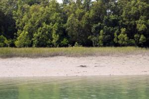Un gran lagarto se acerca a las aguas del delta.