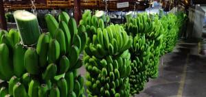Europlátano, la organización de productores de esta fruta, se encuentra muy cerca del hotel. En la foto, área de empaquetado.