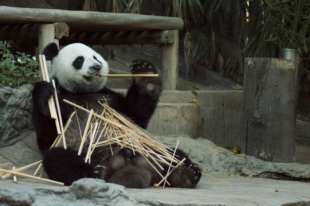 El icónico oso panda de China tiene un dulce hogar en Chongqing, dentro del Parque Zoológico.
