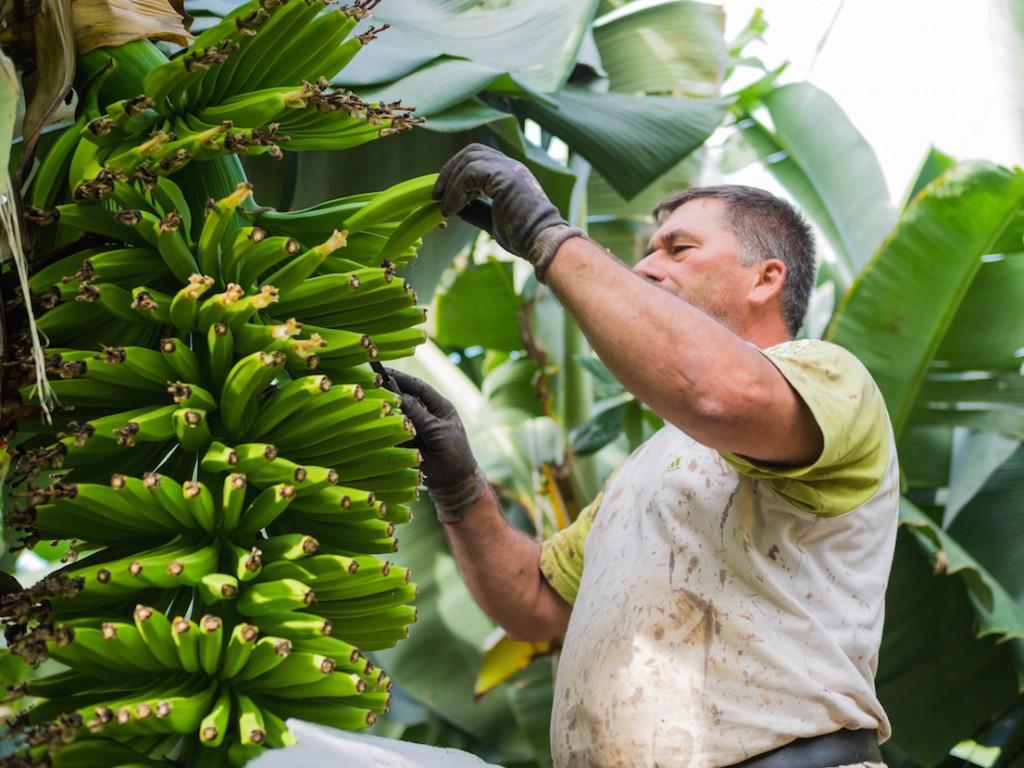 Plátano de canarias en la Palma