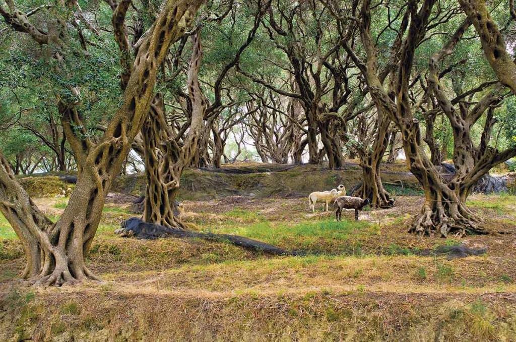 Olivos. Es el cultivo más extendido de la isla. Foto: CSP_ccat82 / Age Fotostock.