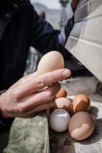 Recogiendo los huevos. Foto: Anna Maria Indra